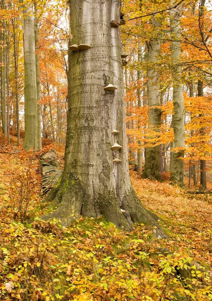 Podzimní bukový les na Českém vrchu