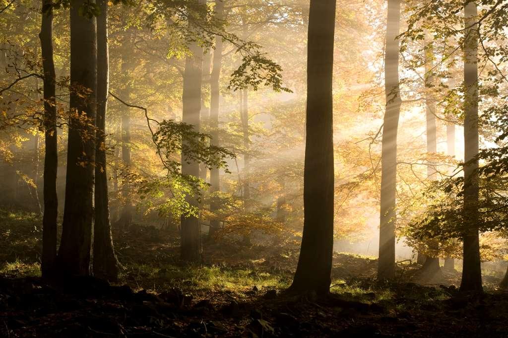 Mlha v bukovém lese
